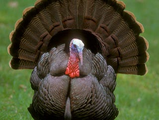Illustration for article titled Turkeys Are Twice As Big Today As They Were 80 Years Ago