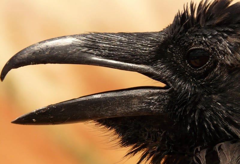 Illustration for article titled Descubren que los cuervos son capaces de fabricar y usar herramientas complejas de varias piezas