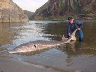 Illustration for article titled Titokban kifogtak egy ritka, védett ősi óriáshalat Budapesten