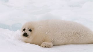 Illustration for article titled Melting Ice Is Crushing and Drowning Baby Seals