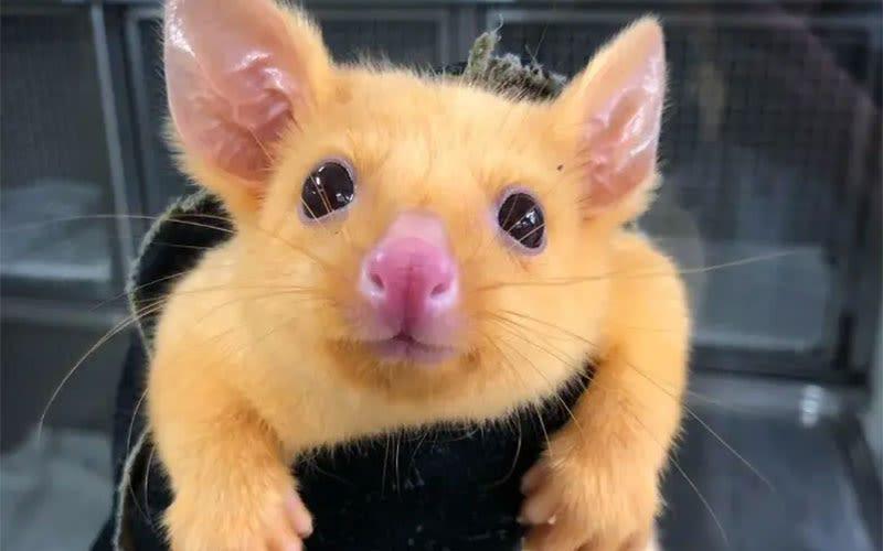 Illustration for article titled Esta zarigüeya australiana tiene una rara mutación genética que le ha valido el nombre de Pikachu