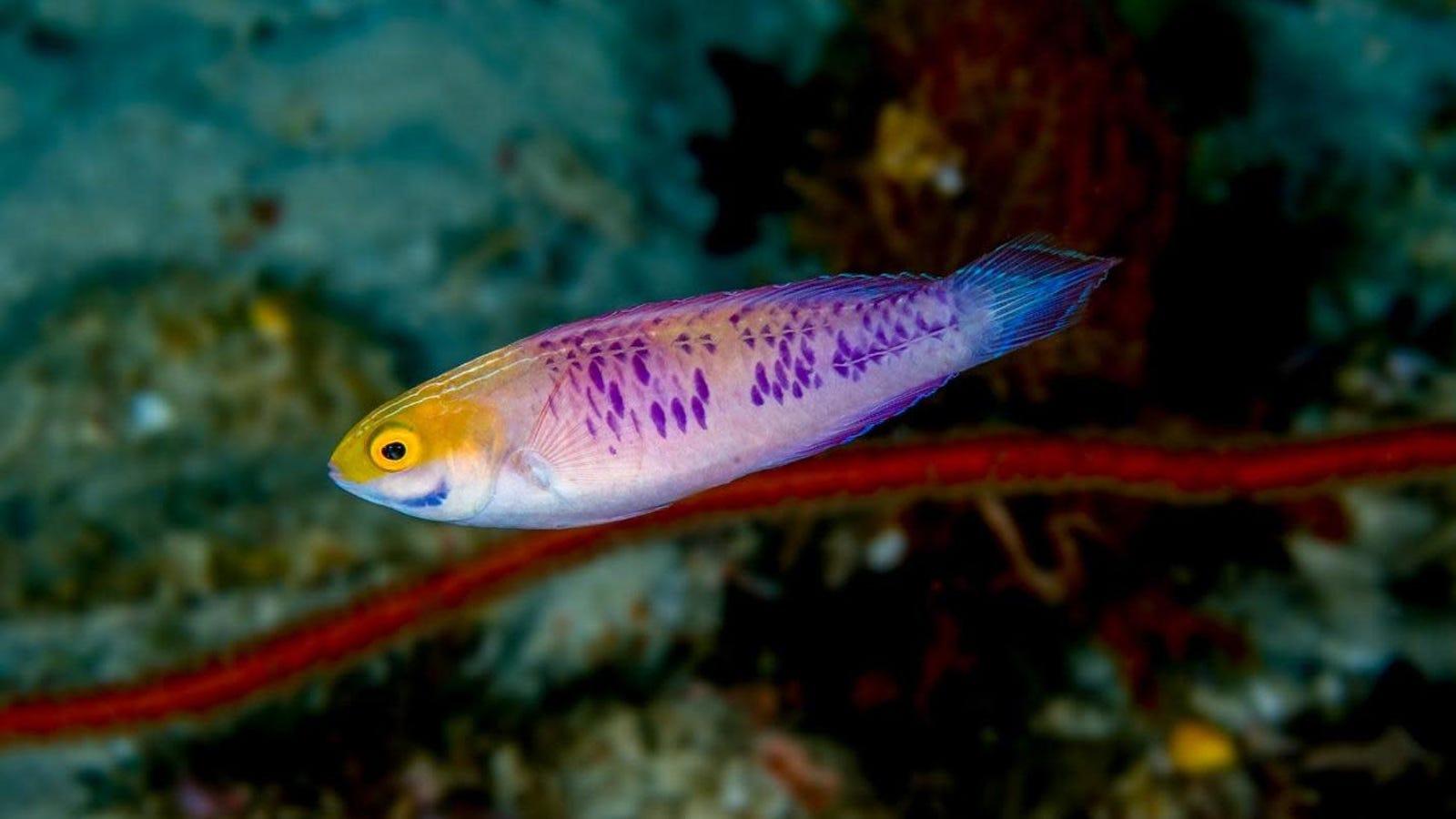 Newly-Discovered 'Vibranium' Fish Named in Honor of Wakanda