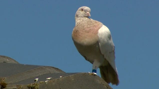 A Racing Pigeon Traveled From the U.S. to Australia—So Now It Must Die [Updated: Joe Gets to Live]