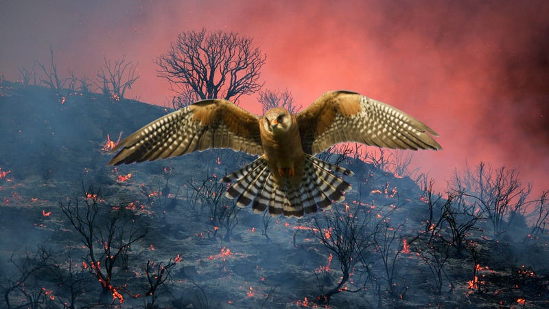 Illustration for article titled Birds Deliberately Spread Wildfires Because Birds Are Dicks