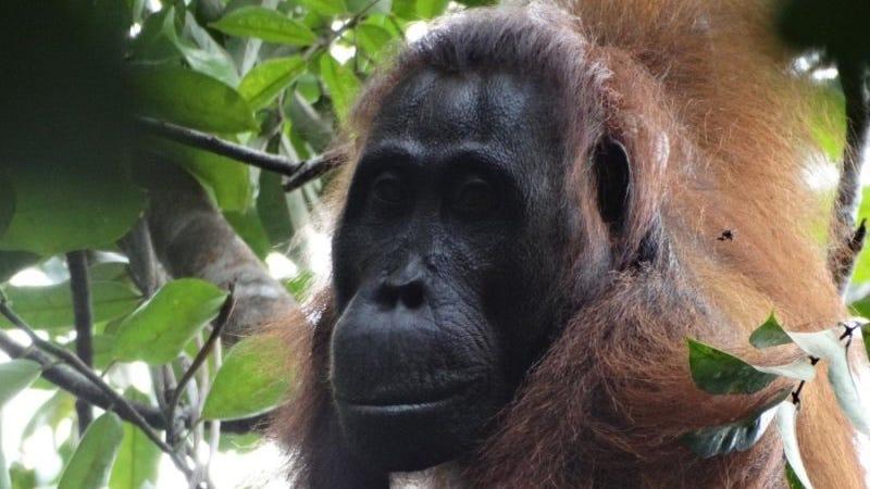 Illustration for article titled Un asesinato coordinado entre orangutanes sorprende a los antropólogos
