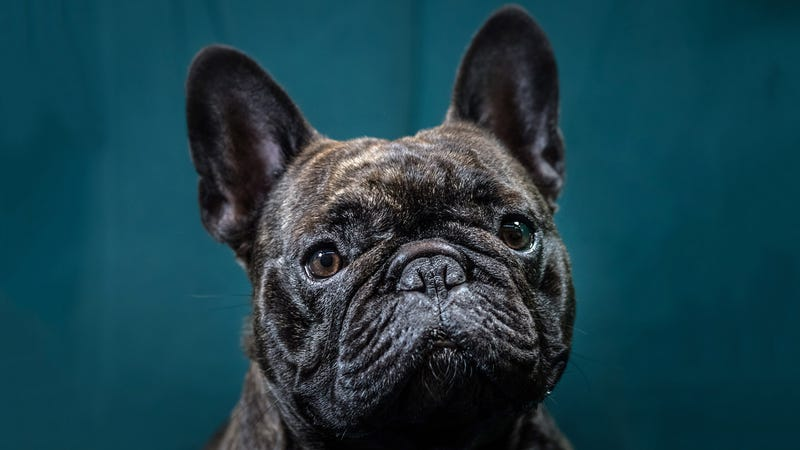 A French bulldog but not the French bulldog that died on the United flight
