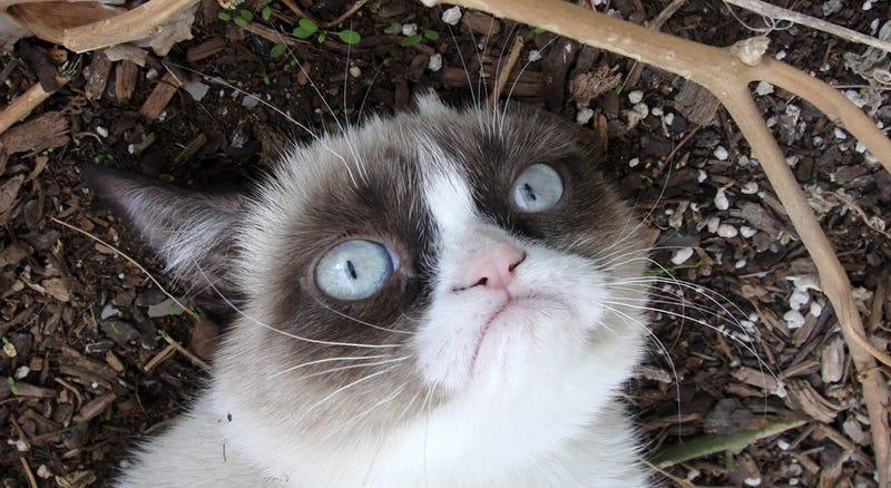 Illustration for article titled Grumpy Cat, de meme a estrella de cine