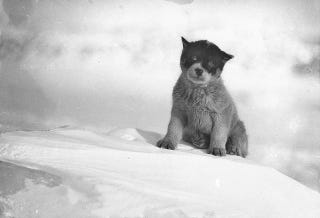 Illustration for article titled A World-Weary Puppy In Antarctica, Circa 1912