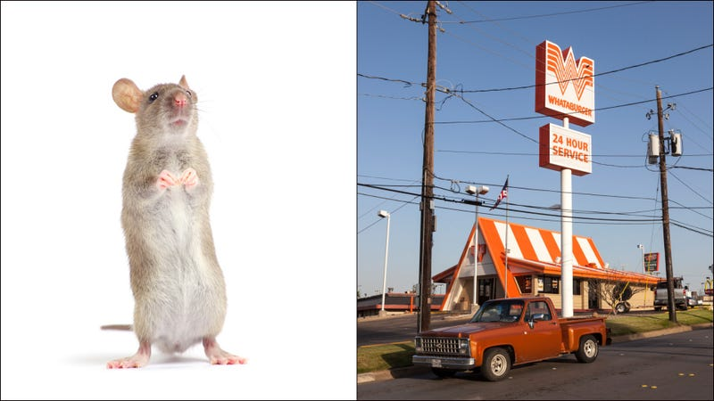 In memoriam: The mouse who met its terrible end in a Whataburger fryer