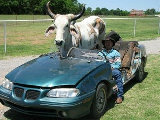 Illustration for article titled Man Drives Bull Around In Custom Convertible Pontiac Grand Am