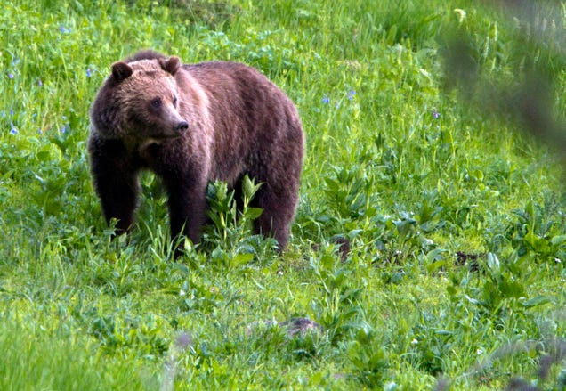 Scientists Found the Oldest Known Grizzly Bear in Yellowstone