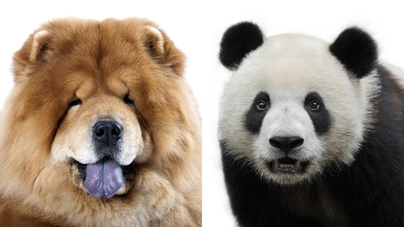 circus tries to pass chow puppies off as pandas
