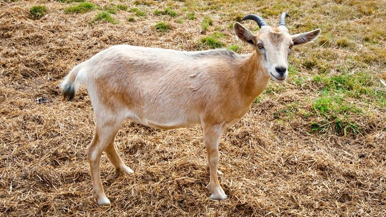 Department Of Agriculture Locates Perfect Goat