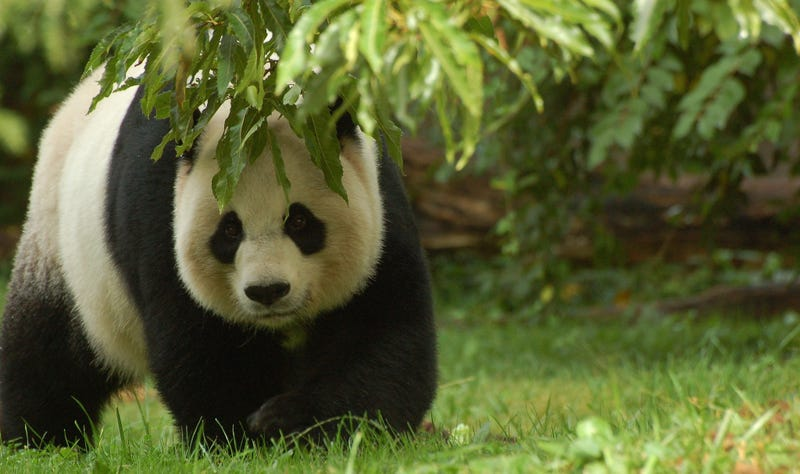 Illustration for article titled Here's Why We're Not Overrun With Adorable Baby Giant Pandas