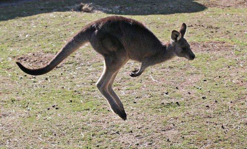 An Australian kangaroo.