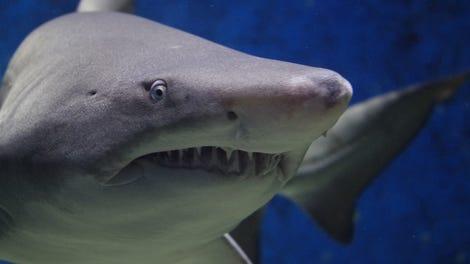 El único temor de un tiburón blanco: las ballenas orca
