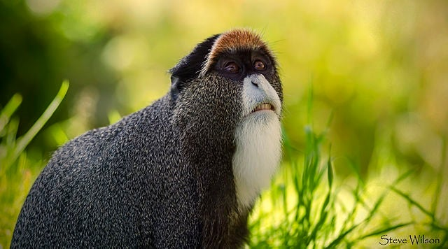 Bearded Monkey Name: The De Brazza's Monkey: The Monkey With The Wizard Beard