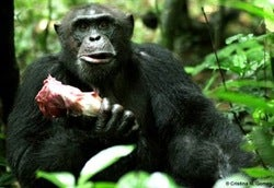 Illustration for article titled Lady Chimps Have Sex For Meat •A Surprising Number Of 12 Year-Olds Are Having All Kinds Of Sex