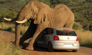 Illustration for article titled What If An Elephant Falls In Love With Your VW?