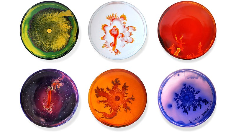 Illustration for article titled Don't Be Grossed Out, the Bacteria on These Petri Dish Plates Is Art