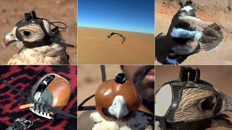 Illustration for article titled This Helmet Cam Attached to a Falcon Shows You What It's Like to Fly and Hunt Like a Bird