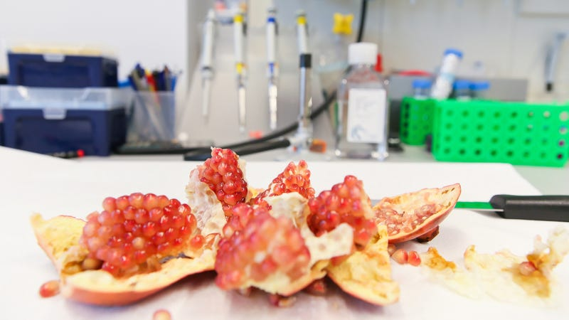 A pomegranate prepared for analysis in Johan Auwerx's lab at EPFL (Image: EPFL / Alain Herzog)