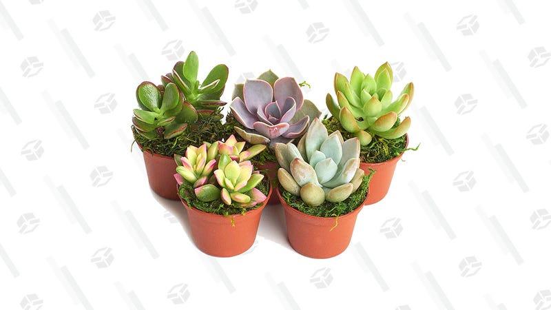 Shop Succulents Real Live Succulents | $13 | Amazon