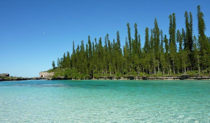 Araucaria Columnaris, en su isla natal de Nueva Caledonia: Foto: Wikipedia