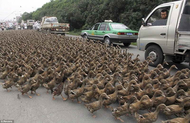 Illustration for article titled I WANT YOU: To Join My Duck Army [HPL UPDATE]