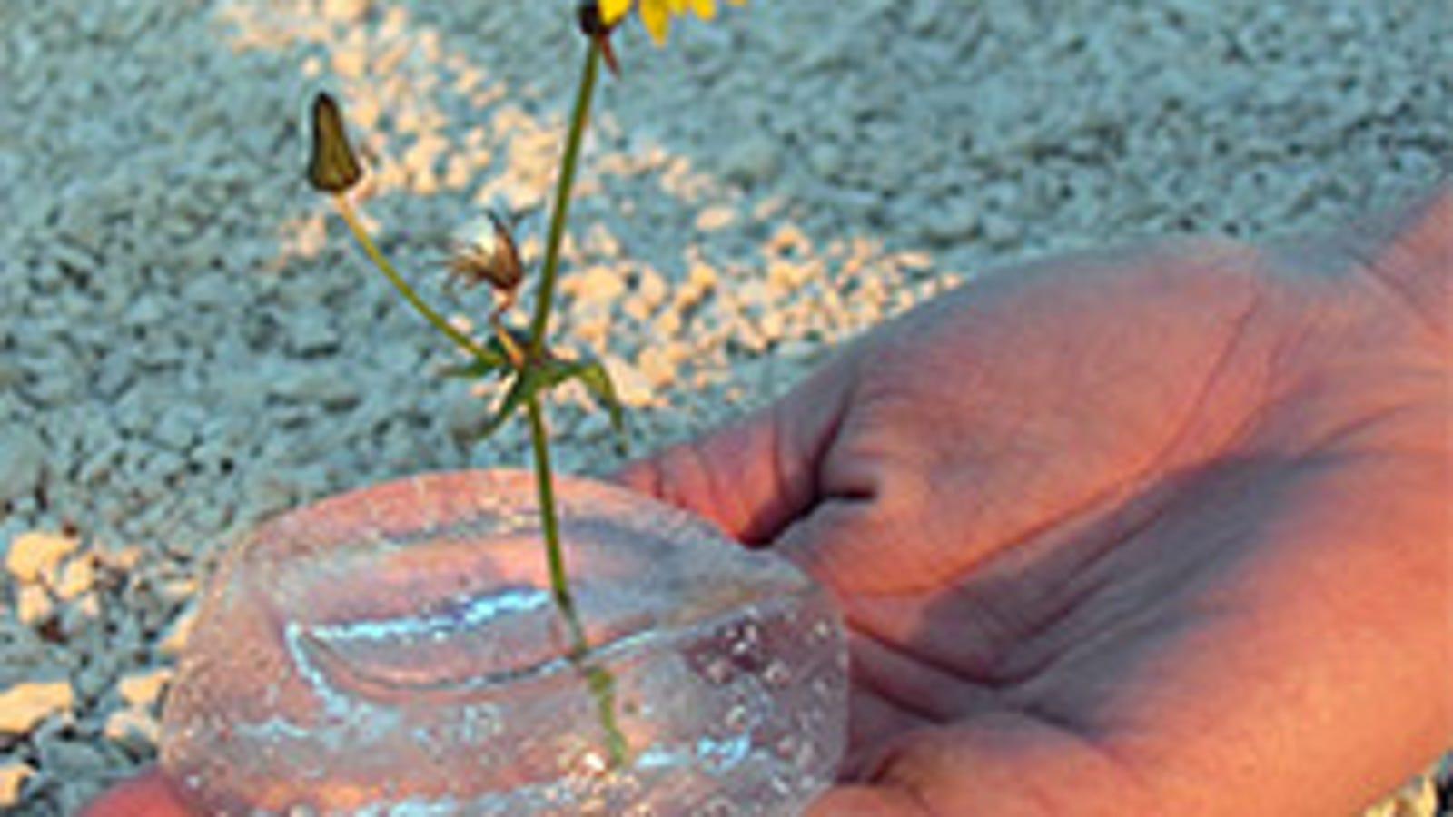 Garcinia cambogia 65 hydroxycitric acid