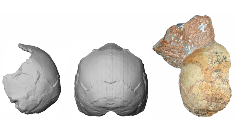 The Apidima 1 skull fragment, a partial cranium, identified as belonging to an early modern human (right), and reconstructed CT images (left).