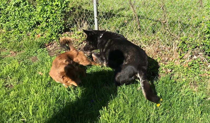Wild Dogos