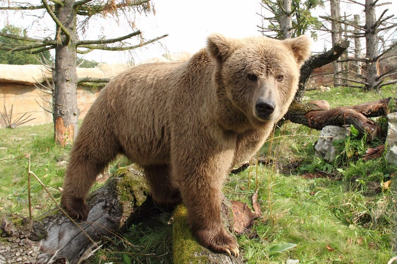El Oso pardo del Himalaya, una de las especies cuyos restos más se atribuyen al yeti. Foto: Wikimedia Commons