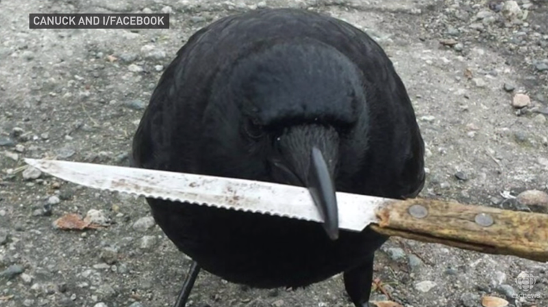 Illustration for article titled Have You Seen This Infamous Knife-Snatching Crow?