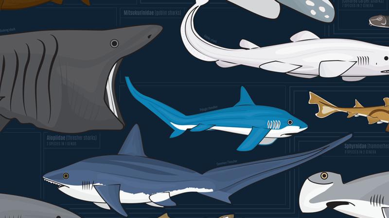 Illustration for article titled Esta impresionante infografía muestra cerca de 130 especies de tiburón, todas dibujadas a escala