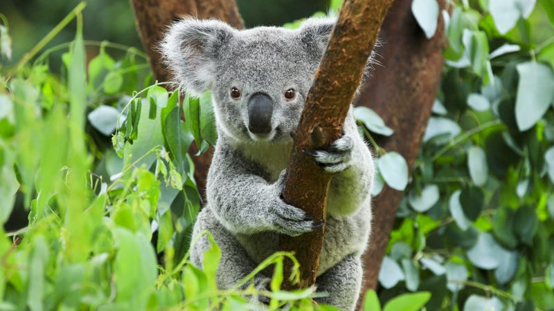 Illustration for article titled En Australia, matar a la mitad de los koalas podría salvar al resto de la extinción
