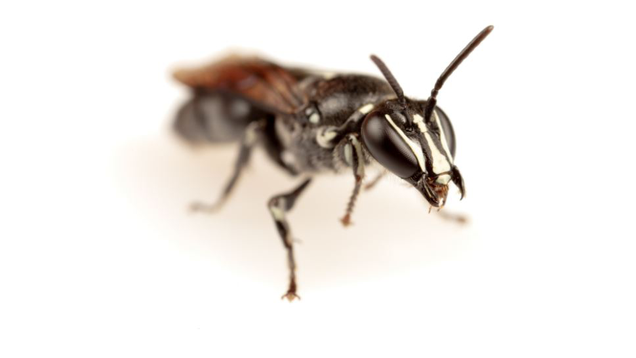 Striking Australian Bee Spotted for First Time in a Century—but It Could Face New Threats