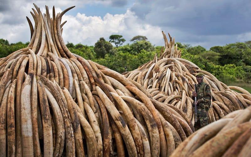 A ranger from the Kenya Wildlife Service guards several pyres of ivory in Nairobi National Park, Kenya. (Image via Associated Press)