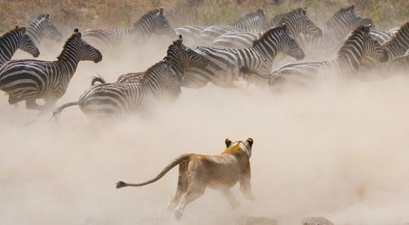 Lioness attacks a zebra herd on the Serengeti. Credit: Gudkov Andrey/Shutterstock