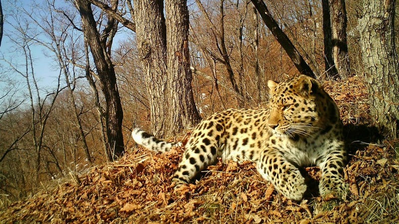 An Amur leopard. Image: Land of the Leopard National Park