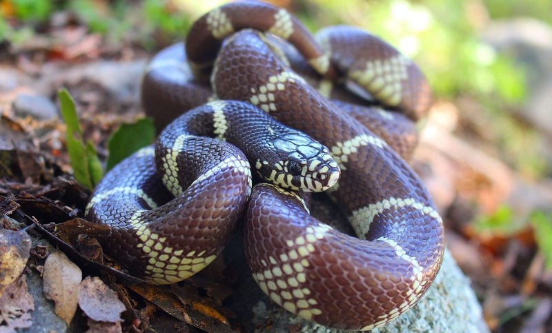 California kingsnake. Wikimedia Commons