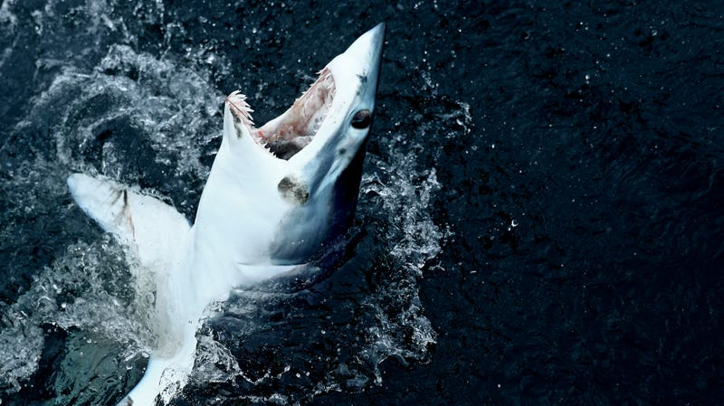 A mako shark caught on a line during a fishing competition.