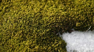 Illustration for article titled Antarctic moss survives by eating 5,000-year-old penguin poop