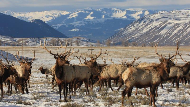 Uapitíes en el Refugio Nacional de Uapitíes de Wyoming. Imagen: USFWS