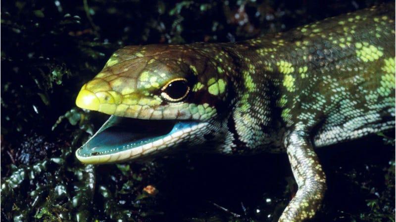 Illustration for article titled La sangre verde y tóxica de estos lagartos los protege en lugar de matarlos, y la ciencia aún no sabe por qué