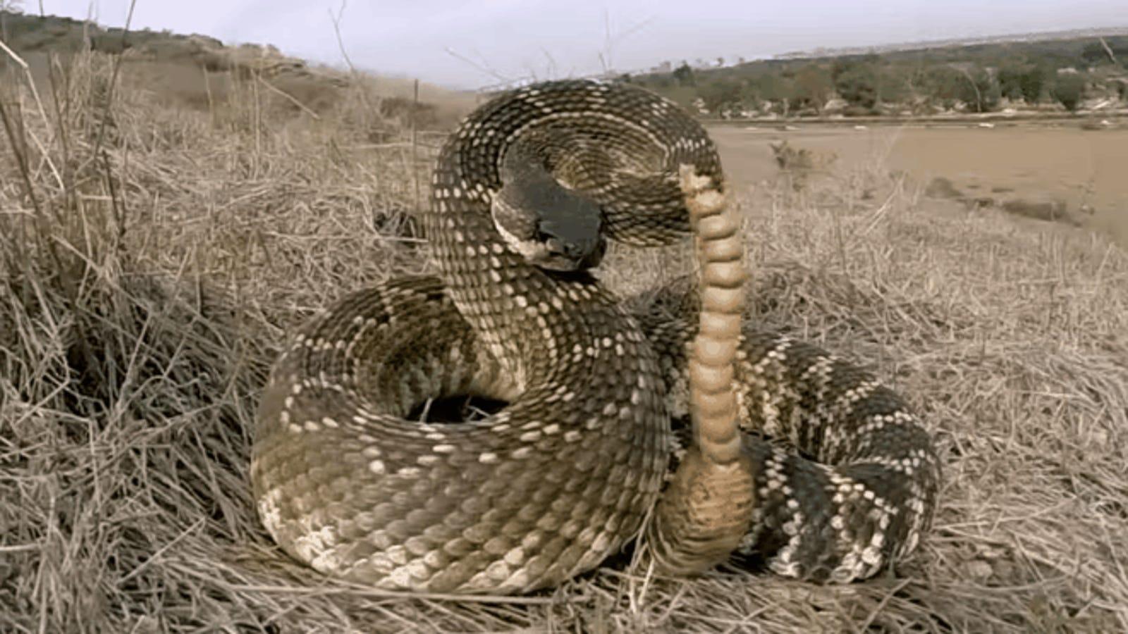 Esto es lo que hay dentro del cascabel de una serpiente venenosa
