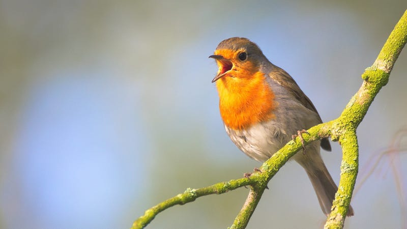Shazam For Birds Three Apps That Recognize Bird Calls