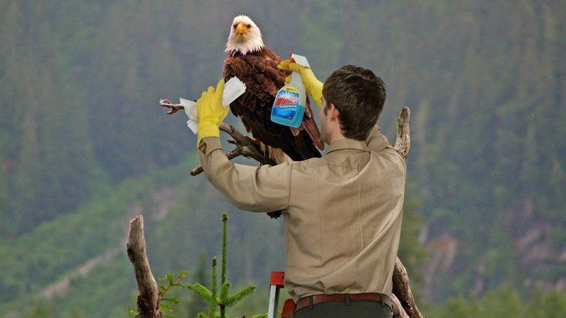 Each bald eagle receives an annual head-rewhitening.