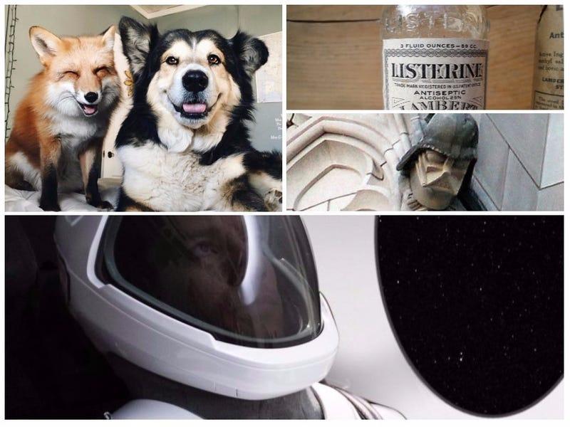 Illustration for article titled Un zorro como mascota, el traje espacial de Elon Musk, la verdad sobre el Listerine.Lo mejor de la semana