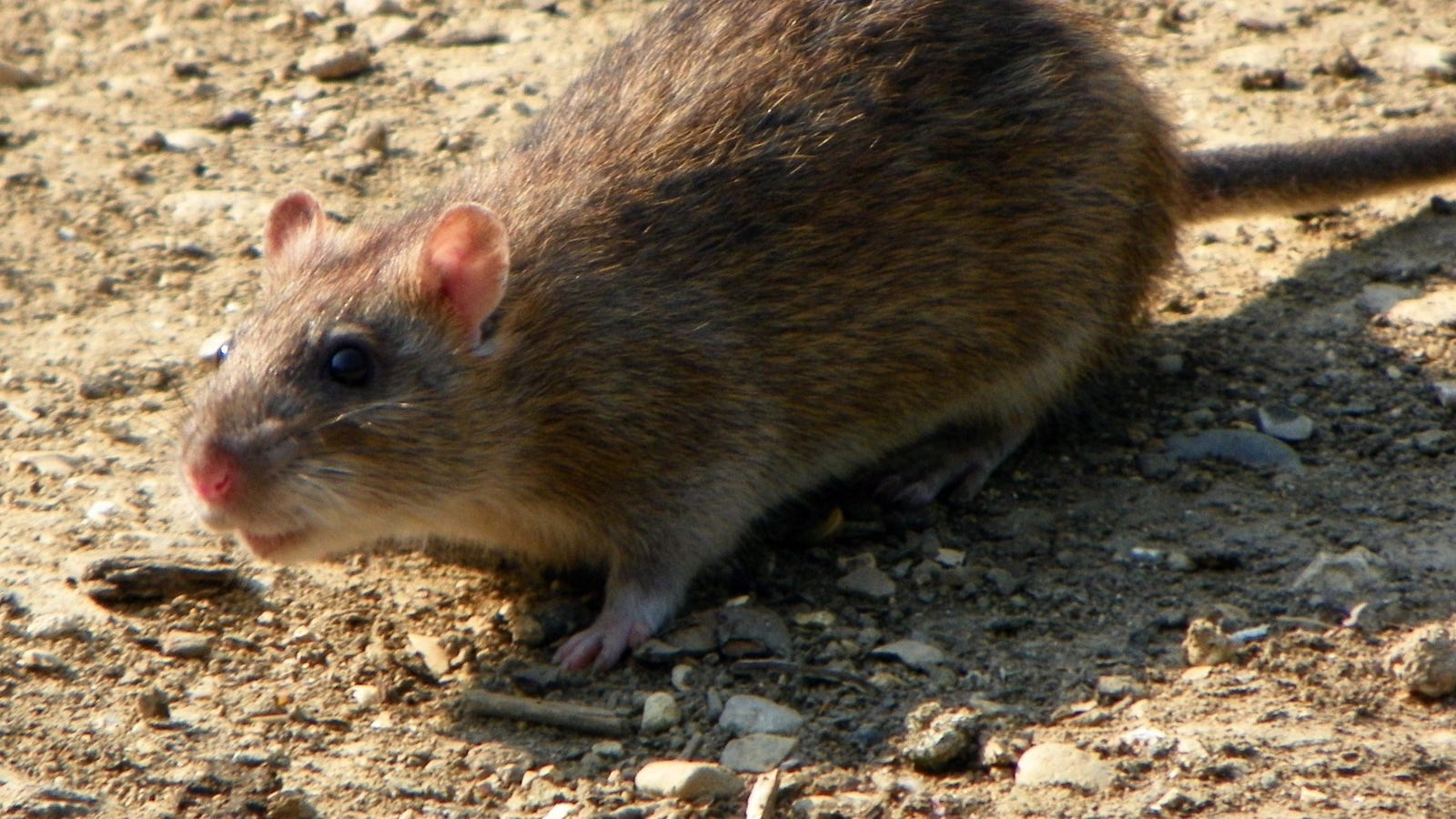 'Genius' Rats Are Wreaking Havoc on Washington, DC